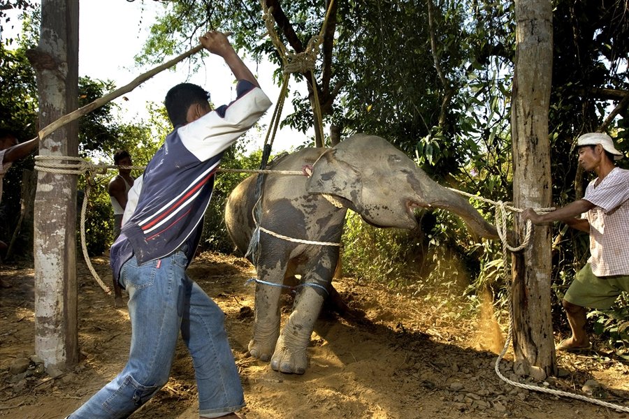 Elephant abuse in Thailand - Phajaan