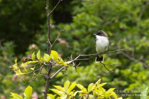 Eastern Kingbird, Ludington State Park, Michigan