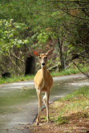 White-tailed Deer, Ludington State Park, Michigan
