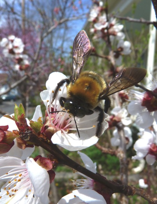 Apricot Blossom with Carpenter Bee