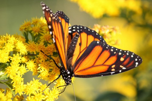 Monarch butterfly migration seaside goldenrod