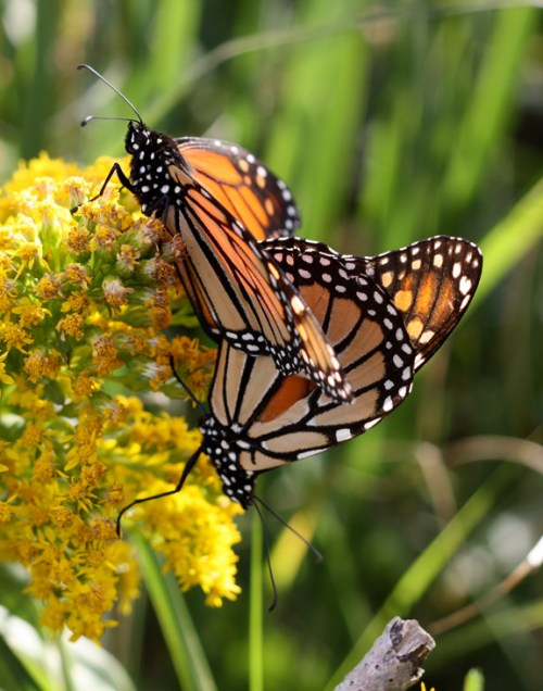 Monarch butterfly migration monarchs mating seaside goldenrod