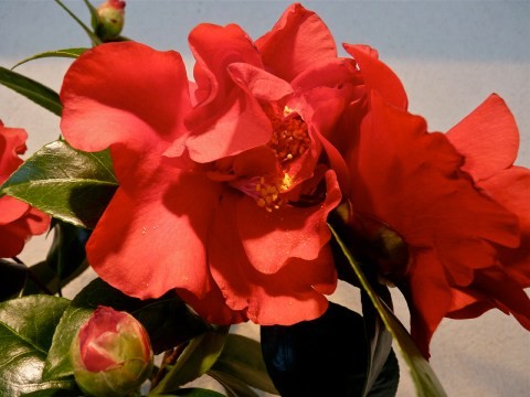 Camellia japonica 'Bob Hope