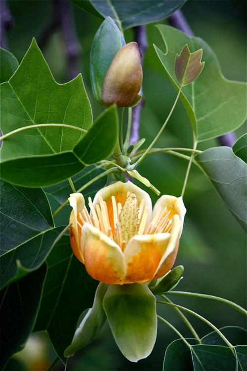 Tulip Tree (Lirodendron tulipfera)
