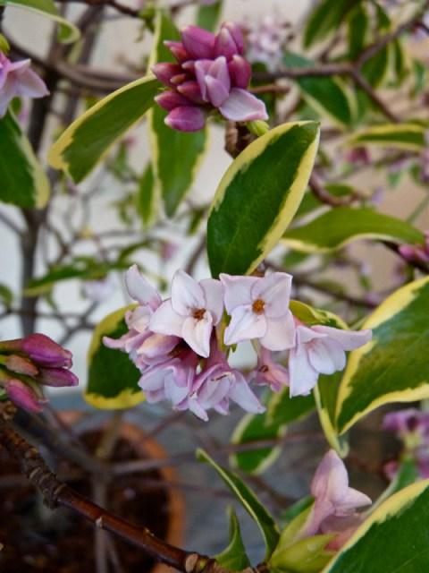 Fabulously Fragrant Daphne odora 'Aureomarginata'