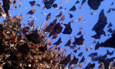 Monarchs in Michoacán, Mexico