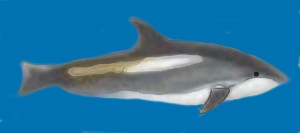 Atlantic White-sided Dolphin Lagenorhyncus acutus