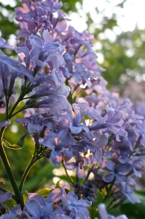 Syringa vulgaris 'Wedgwood'