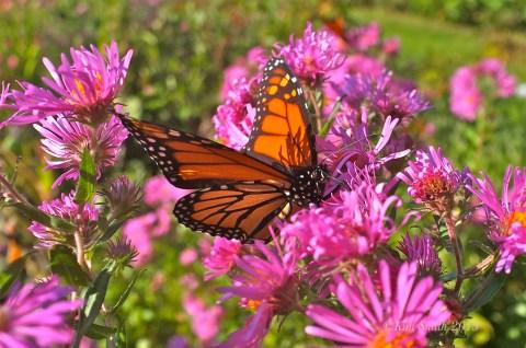 Monarch Butterfly Alma Potchke New England aster ©Kim Smith 2013