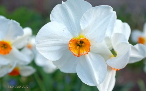 Narcissus 'Geranium' ©Kim Smith 2012