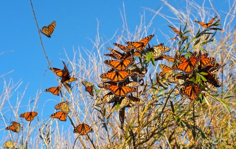 Monarch butterflies daybreak willow tree ©Kim Smith 2012
