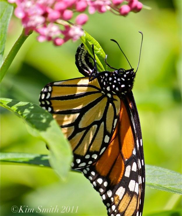 Female Monarch Egg Marsh Milkweed ©Kim Smith 2013JPG
