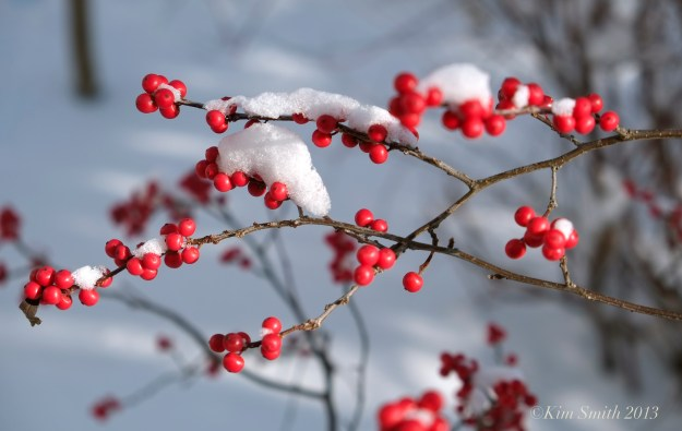 Winterberry Ilex verticillata snow ©Kim Smith 2013