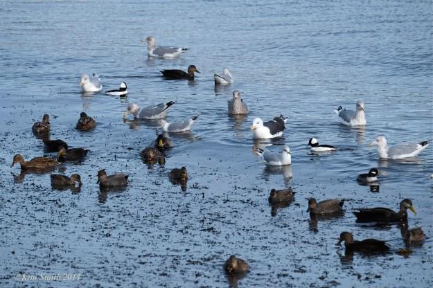 Buffleheads, gulls Brace Cove ©Kim Smith 2014