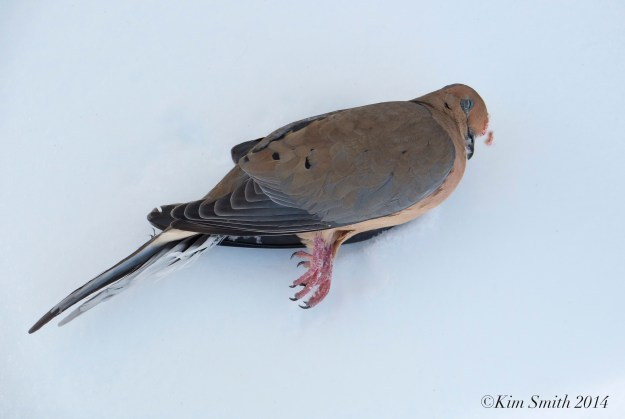 Dead Mourning Dove  ©Kim Smith 2014