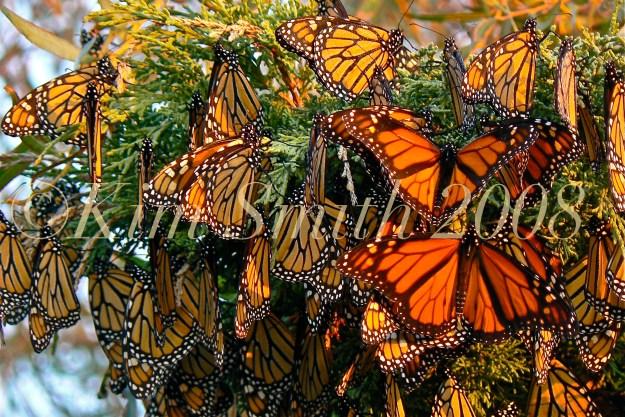 Monarch Awakening app -2 ©Kim Smith  copy