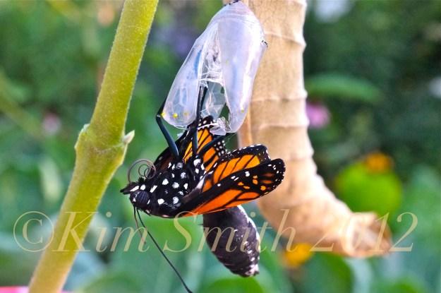 Monarch Butterfly Emergng from Chrysalis Proboscis Zipping -2 ©Kim Smith 2012