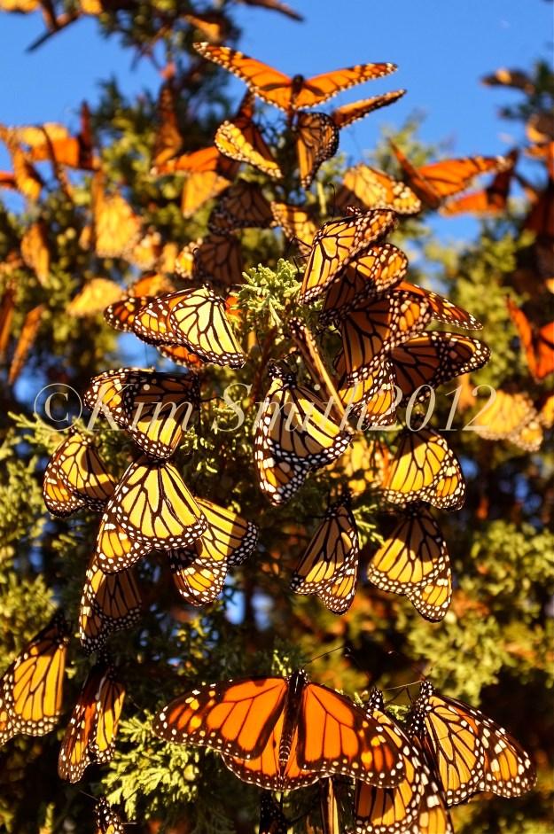 Monarch Butterfly Tree -1 Gloucester Massachusetts ©Kim Smith 2012