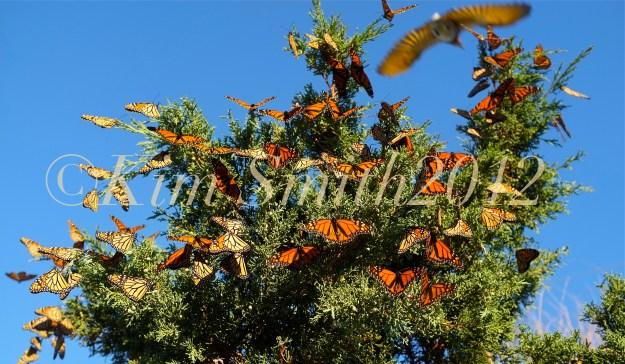 Monarch Butterfly Tree Bird Gloucester Massachusetts ©Kim Smith 2012