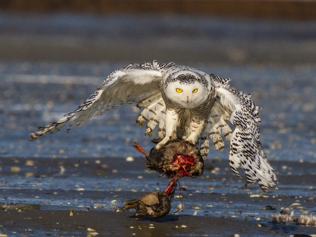 Snowy Owl With American Black Duck
