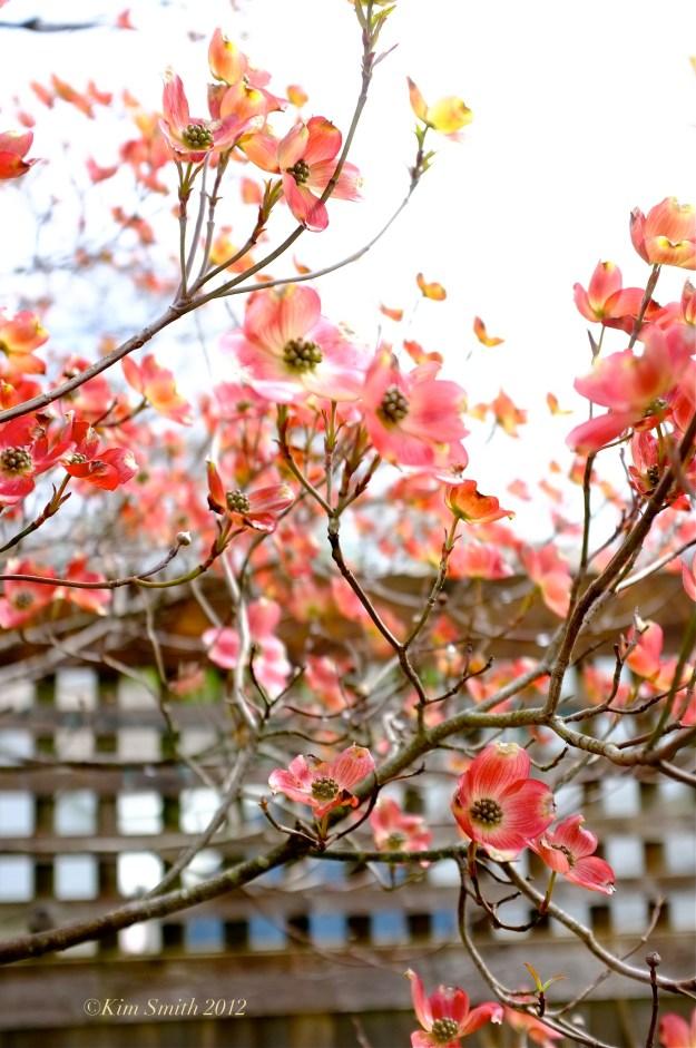 Cornus florida rubra pink dowood © Kim Smith 2012 copy