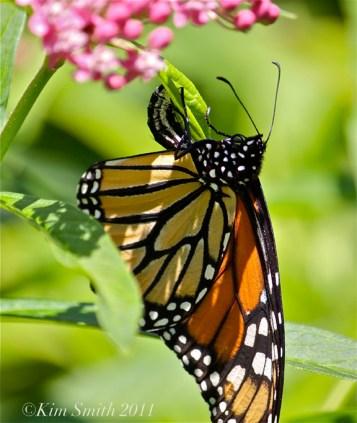 Female Monarch Egg Marsh Milkweed -ecga ©Kim Smith 2013JPG