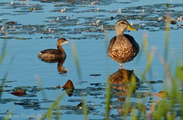Pied-billed Grebe Massachusetts mallard ©kim Smith 2014