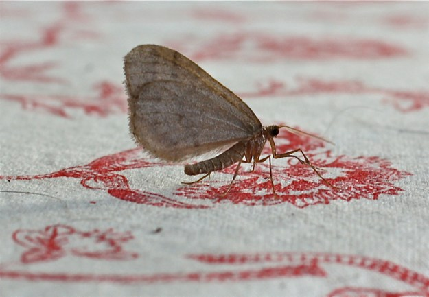 winter-moth-operophtera-brumata