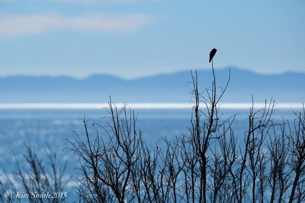 Black-chinned hummingbird Goleta Santa Barbar Ellwood mesa ©kim Smith 2015