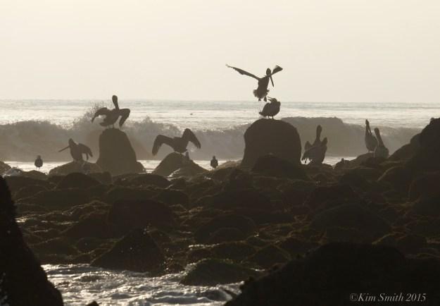 El Matador Beach Brown Pelican habitat ©Kim Smith 2015. JPG