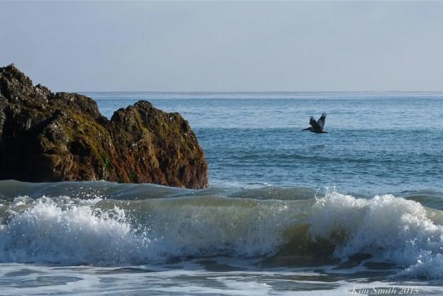 El Matador  Beach Pelican ©Kim Smith 2015