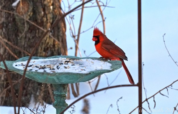 Male Cardinal ©Kim Smioth 2015