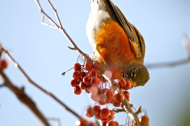 American Robin Crabapple ©Kim Smith 2015