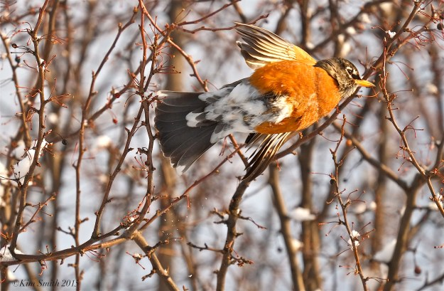Robin flying ©Kim Smith 2015