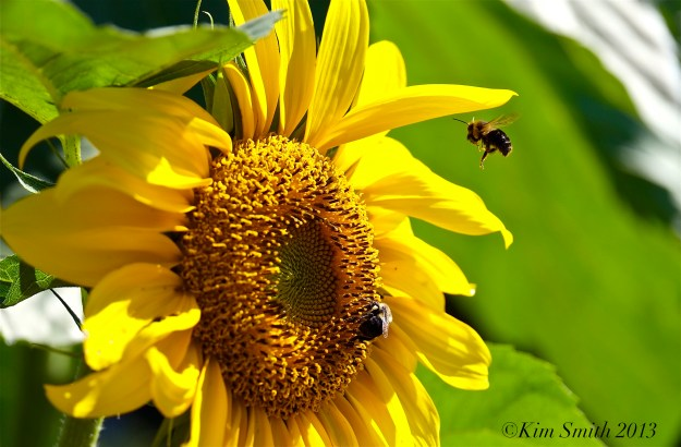 Sunflower and Bees ©Kim Smith 2013 copy