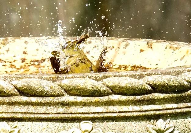 Common Yellowthroat Warbler ©Gloucester MA ©Kim Smith 2015