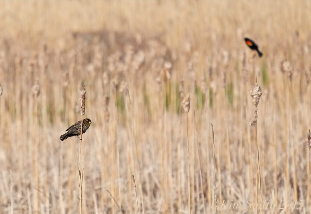 Female and Male Red-winged Blackbird Massachusetts ©Kim Smith 2015