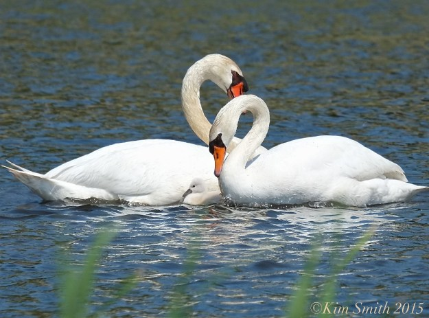 Mute swan cygnet cob pen, female male Massachusetts ©Kim Smith 2015