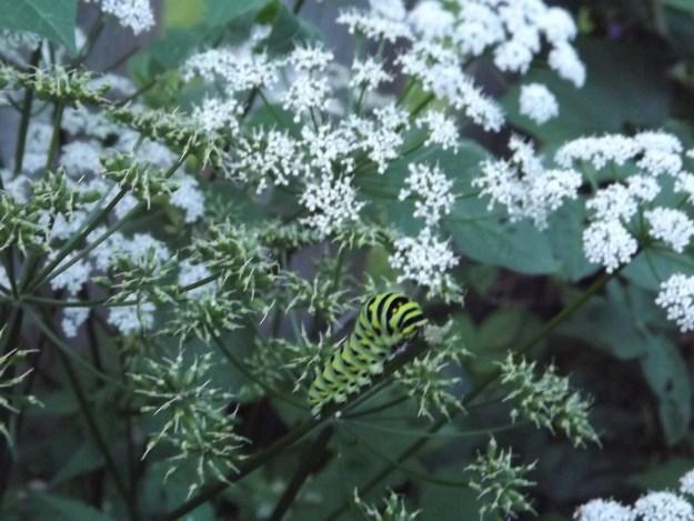Black Swallowtail Butterfly June 2015