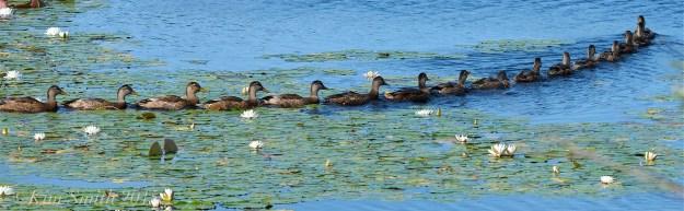 Ducks in a Row ©Kim Smith 2015