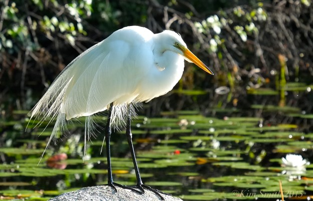 Great Egret Gloucester airgrettes ©Kim Smith 2015