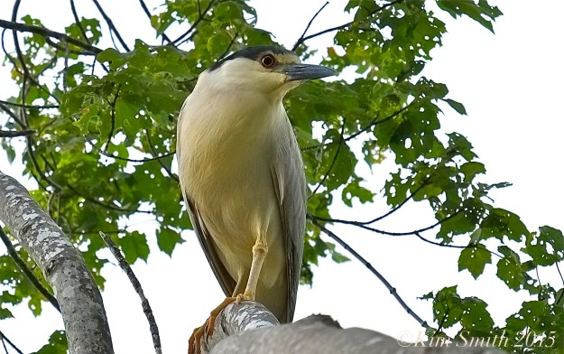 Black-crowned Night Heron Gloucester -1 ©Kim Smith 2015