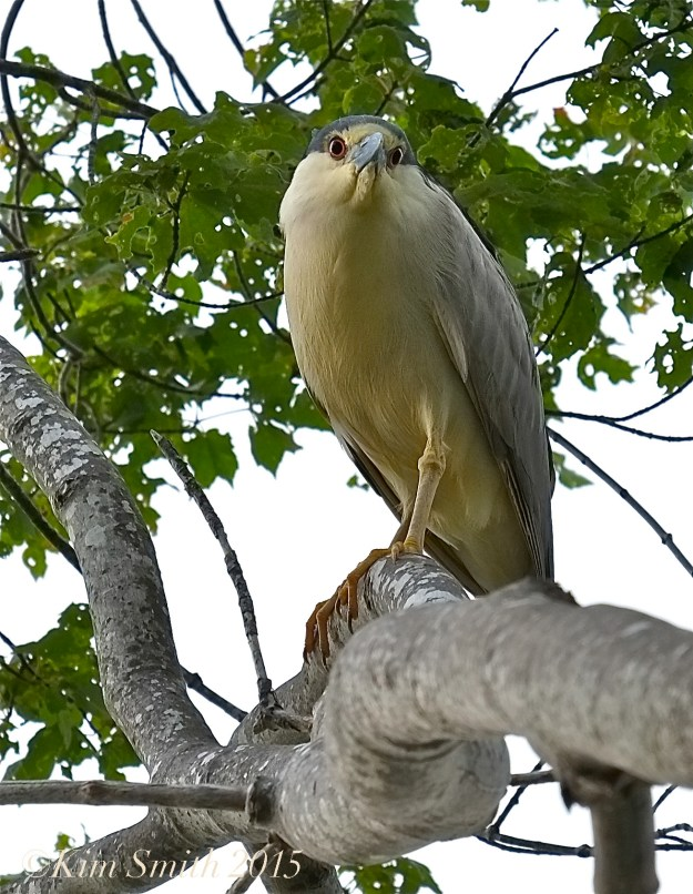Black-crowned Night Heron Gloucester ©Kim Smith 2015
