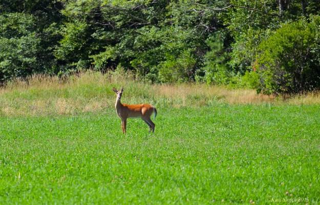 Waring Field Deer ©Kim Smith 2015