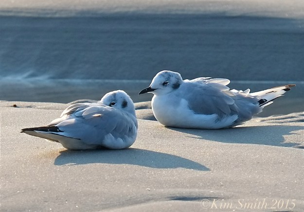 Bonaparte's Gulls Gloucester ©Kim Smith 2015