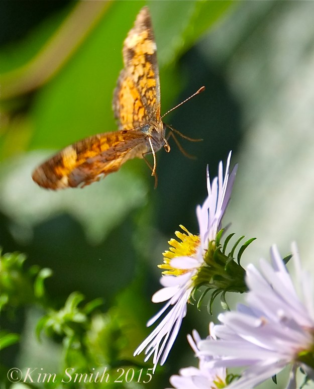 Pearl Crescent Butterflies -7 ©Kim Smith 2015
