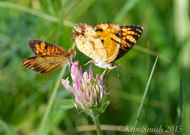 Pearl Crescent Butterflies ©Kim Smith 2015