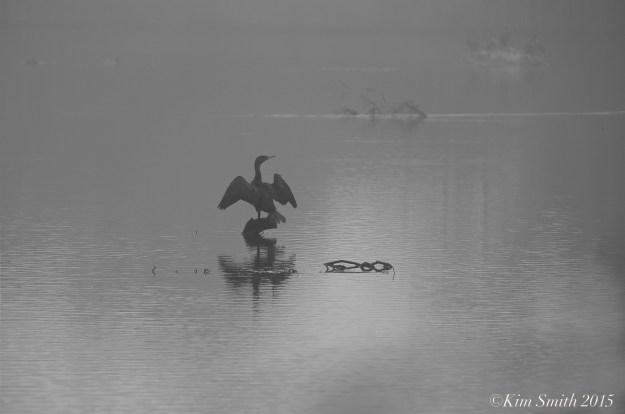 Cormorant Clark Pond ©Kim Smith 2015