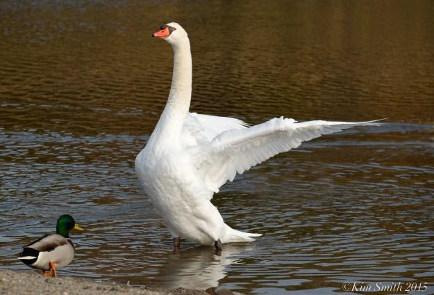 Male Swan Henrys Pond Rockport ©Kim Smith 2015