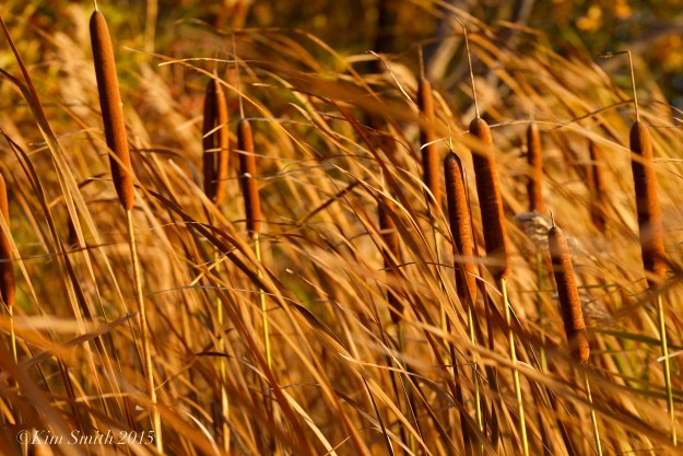 Cattails in the wind -2 ©Kim Smith 2015